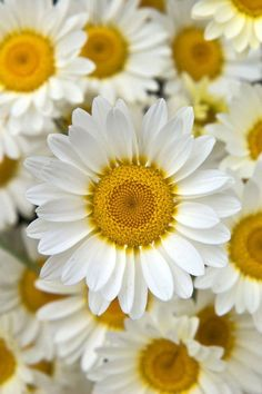 Something about the simple daisy flower always makes me smile. Marguerite Daisy - Argyranthemum - For a spectacular show during cool weather, plant a marguerite daisy. Happy Flowers, My Flower, White Flowers, Beautiful Flowers, Birth Flower, Fresh Flowers, Sun Flowers, Golden Flower, Summer Flowers