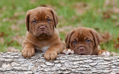 Bordeaux mastiff puppies