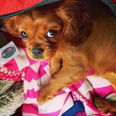 Lucy - our Cavalier King Charles puppy