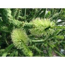 Melaleuca Diosmifolia 3mtrs h x 3m wide