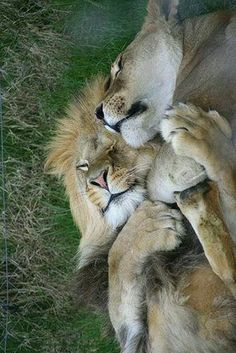 "A Lion Couple: ""Life is so beautiful, when you have the right partner to share… Big Cats, Cats And Kittens, Cute Cats, Siamese Cats, Kitty Cats, Funny Cats, Beautiful Cats, Animals Beautiful, Animals And Pets"