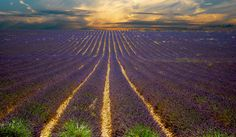 Picture of the Day: Lavender Sunsets in Provence