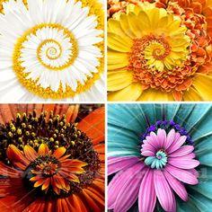 New Arrival 30pcs  A Miracle Daisy  seeds hardy bonsai  plants rare flower seeds  ornamental flowers