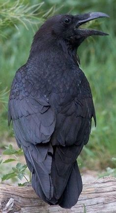 Image result for pet raven