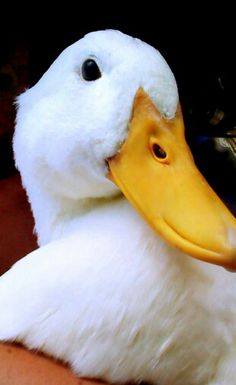 Pekin Duck!  I'm a beauty!  :)
