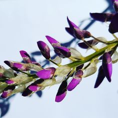Wisteria flowers in our Bondi, Sydney garden