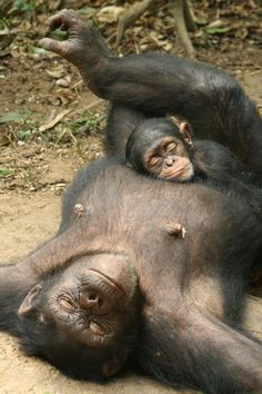 Great Apes Survival Partnership (GRASP-UNEP)   Great Ape Moment:Two chimpanzees ( Marie-Jeanne and her baby Tupuri) relaxing: Photo Credit: Ian Bickerstaff (Ape Action Africa)