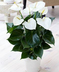 anthurium andreanum 'Sumi' (Rosenkalla 'Sumi')
