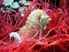 Sea Horse resting in red sea grass