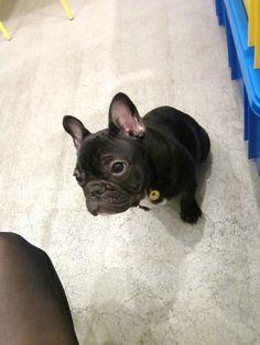 Mr.Shishimaru, French Bulldog ❤