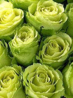 ORGANIC Green America Roses One Dozen: Patio, Lawn & Garden $49.95