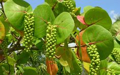 The sea grape tree is endemic to the Caribbean, Central America (Atlantic coast) and tropical regions of America including Florida and the island of Bermuda further north. Today, it is present on various beaches of Martinique where a particular beach bears his name.