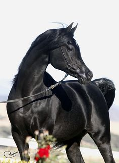 Dreamcatcher SMF by Thee Renegade - Lovely black Arab. Ee or EE?