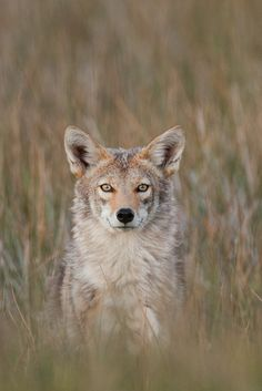 ☀Coyote 301V4088.jpg by BobLewis*