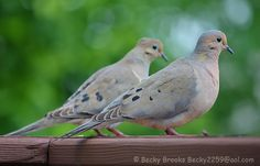 Count Down to Spring - 30 Days - Doves Resting on My Deck - News - Bubblews