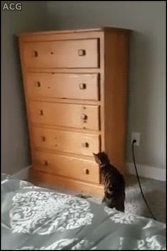 ACG • CAT GIF • Clever 'Loki' the Cat opening dressing drawers climbing inside and shutting them like a boss