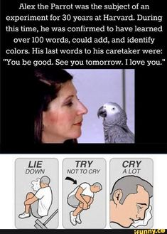 """Alex the Parrot was the subject of an experiment for 30 years at Harvard. During this time, he was confirmed to have learned over 100 words, could add, and identify colors. His last words to his caretaker were: """"You be good. See you tomorrow. I love you."""