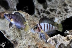 "Altolamprologus sp compressisceps ""Sumbu shell"""