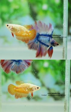 Archived Auction # - HM-female Orange Gold Dragon - Ended: Thu Jan 16 2014 Betta Tank, Betta Fish, Beta Fish Care, Amphibians, Reptiles, Yellow Plants, Gold Dragon, Siamese Fighting Fish, Little Dragon