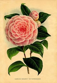 Instant Art Printable Download - Pink Camellia Botanical - The Graphics Fairy