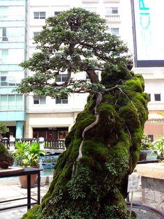 #bonsai art #盆栽 #  Bonsai Exhibit 2013  (Via:  Bonsai Exhibit 2013 at Eastwood Mall, Manila, Philippines  )おぉ...これはかっこいいな。