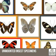 Unmounted Insect Specimens - Shop the collection, website updated daily, click here now www.NaturalHistoryDirect.com