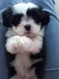 Resultado de imagem para lhasa preto Lhasa Apso, Roxy, Cute Puppies, Pretty, Softies, Animales, Adorable Puppies