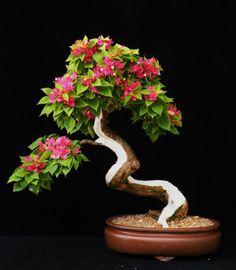 bonsai-20