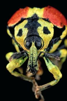 Malagasy weevil