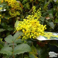 Buy Mahonia aquifolium Apollo (Oregon Grape) online from Jacksons Nurseries