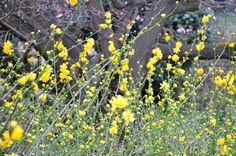 Already spring - Yellow profusion... - Yves Bonis