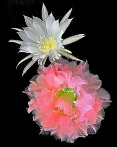 "~~Echinopsis cactus hybrid ""Southern Belle"" and Echinopsis subdenudata by rarereynolds1~~"