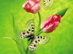 Most Beautiful Butterflies Wallpaper | My image