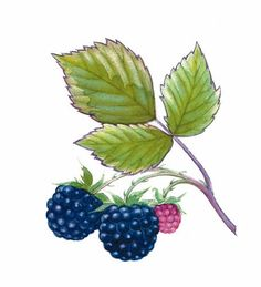 Organic Gardening Ideas Learn how to prune back and transplant wild black raspberries. - Learn how to prune back and transplant wild black raspberries. Blackberry Plants, Raspberry Plants, Growing Raspberries, Black Raspberries, Raspberry Bush, Garden Tattoos, Organic Insecticide, Botanical Drawings, Botanical Illustration