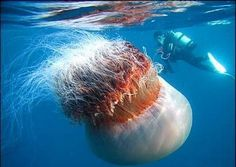 Enormous jellyfish - look at the diver behing to get an idea of it's size    WOW!! I'd like this in a print
