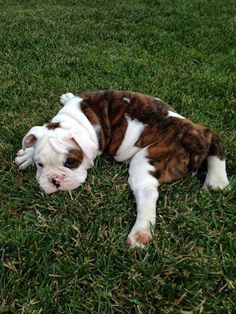 Baggy Bulldogs: I think your Puppy just Melted ;-)