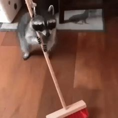 Some raccoons are working hard to break the dirty 'trash panda' stereotype
