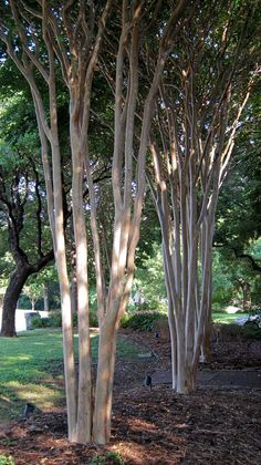 How to prune a Crape Myrtle...