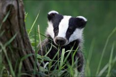 Peek 'a' boo  Badger cub. Taken at the British Wildlife Centre. From Animal Story FB