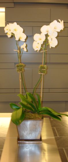 This is a double stemmed, white, phalaenopsis orchid plant.  See our entire selection at www.starflor.com.  To purchase any of our floral selections, as gifts or décor, please call us at 800.520.8999 or visit our e-commerce portal at www.Starbrightnyc.com. This composition of flowers is generally available for same day delivery in New York City (NYC). OP002