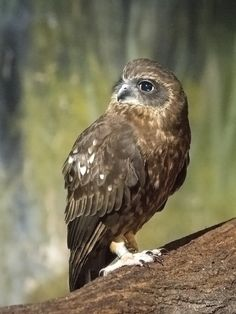 Boobook Owl (Tasmanian Spotted Owl).