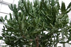 Dragon bone euphorbia is an elegant and structurally unique plant that can live on the patio in summer as long as it is brought indoors before cool temperatures arrive. Learn more about the plant and how to grow it in this article.