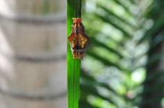 The birdwing butterfly chrysalis on day 3. Over the next 2 weeks I expect to see it change colour a little bit.