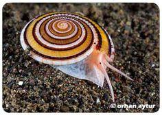 live sundial shell