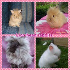 Lion headed rabbits Lionhead Rabbit, Rabbit Breeds, Raising Rabbits, Bun Bun, Funny Bunnies, Chicken Coops, Farm Gardens, Cute Creatures, Cute Animals