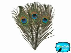 Wholesale Peacock Feathers 100 Pieces  by MoonlightFeatherInc, $45.00