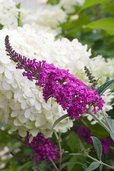 """~Buddleia """"Miss Ruby"""" (Butterfly Plant)~"""