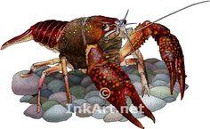 crawfish | Full color illustration of a Louisiana Crawfish (Procambarus clarkii)