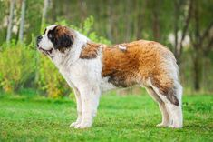 From tallest to heaviest, these are the biggest breeds of dog found around the globe.