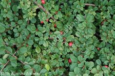 irga płożąca 'Queen of Carpets' - Cotoneaster procumbens 'Queen of Carpets' | Katalog roślin - e-katalog roślin